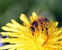 - Biene im Pollenrausch -