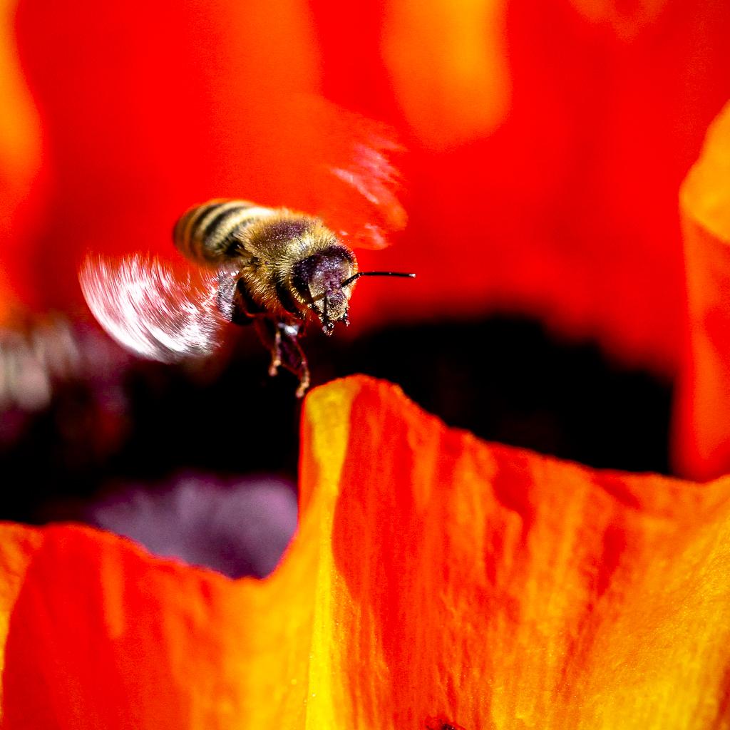 Biene im Schwebflug