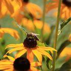 Biene im Sonnenhut - Das ist für mich Sommer