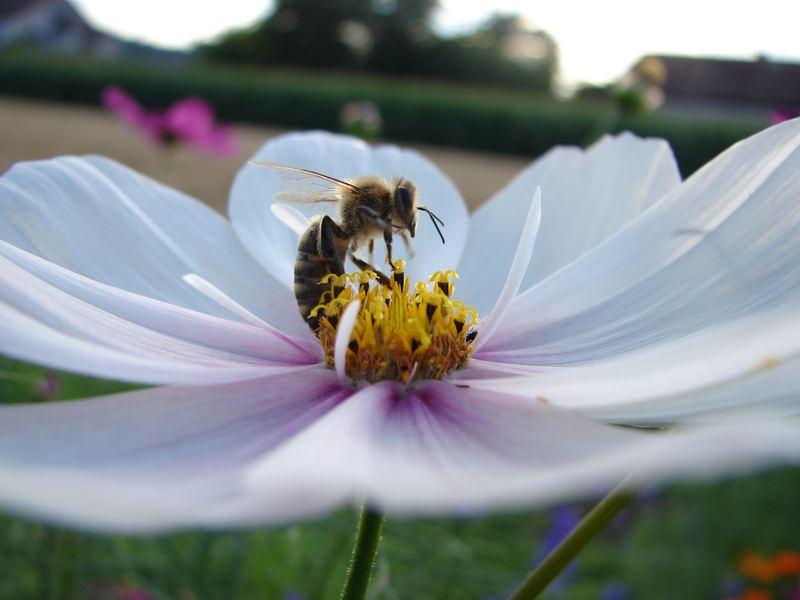 Biene in Blume