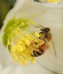 Biene in der Christrose