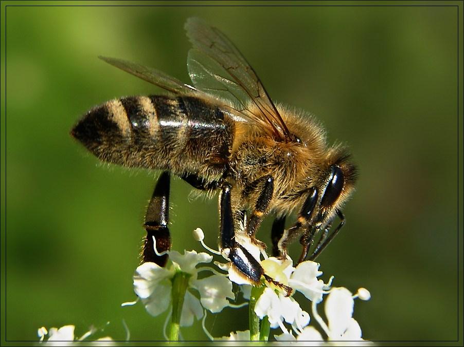 Biene in der Heide.