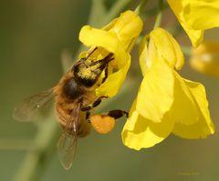 Biene in der Rapsblüte