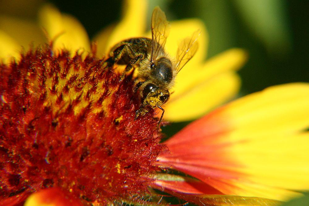 Biene in der Sommersonne