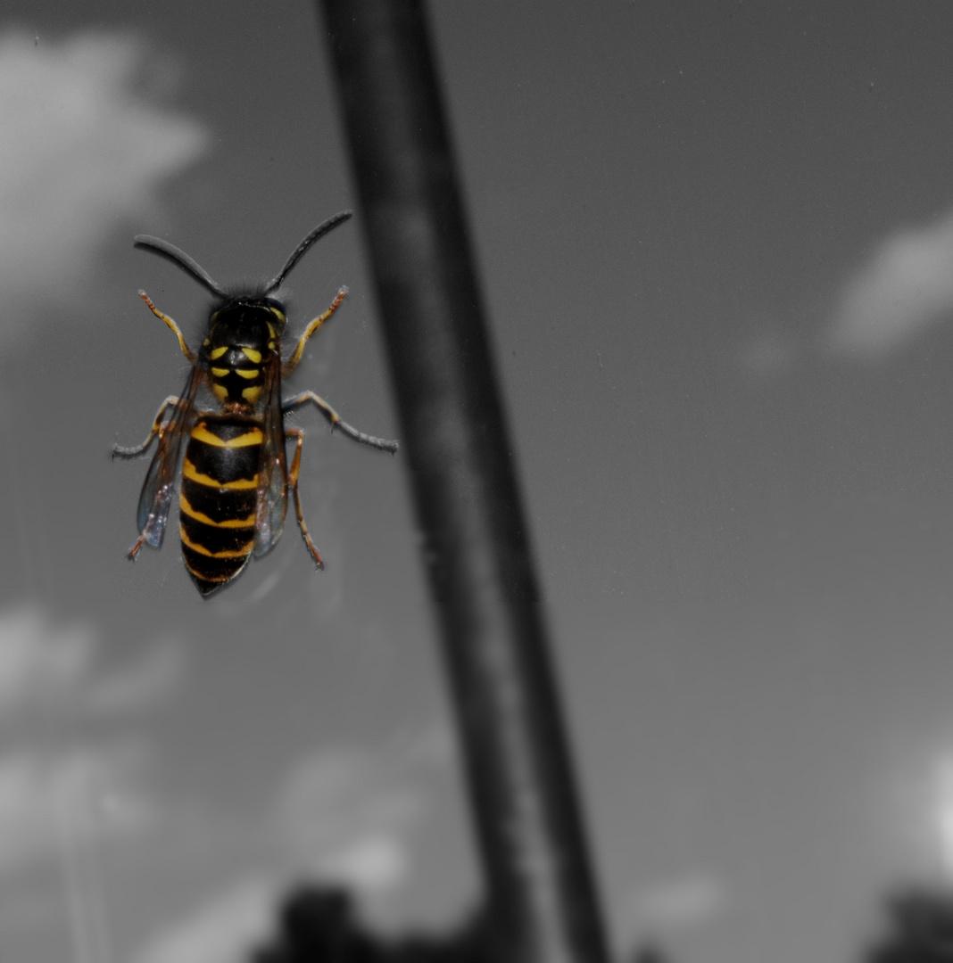 Biene in Gefangenschaft