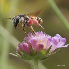 Biene in roten Hosen