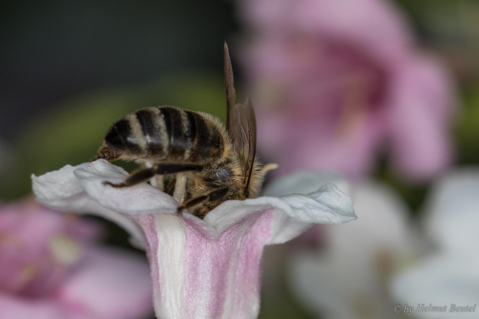 Biene - kopfüber in die Blüte