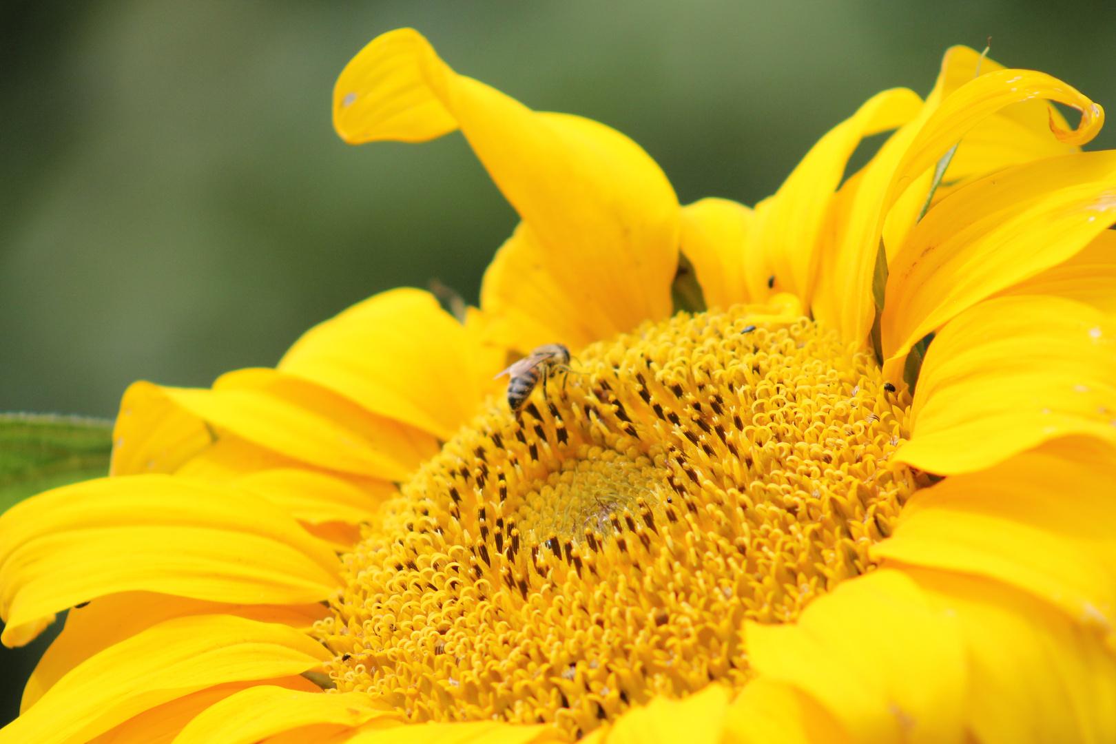 Biene Maja auf der Sonnenblume