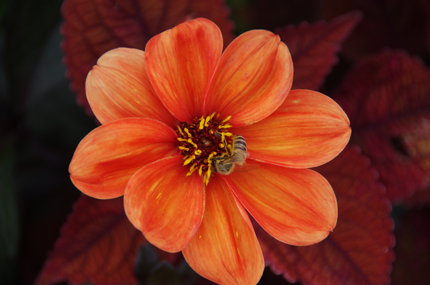 biene mit blume foto  bild  pflanzen pilze  flechten