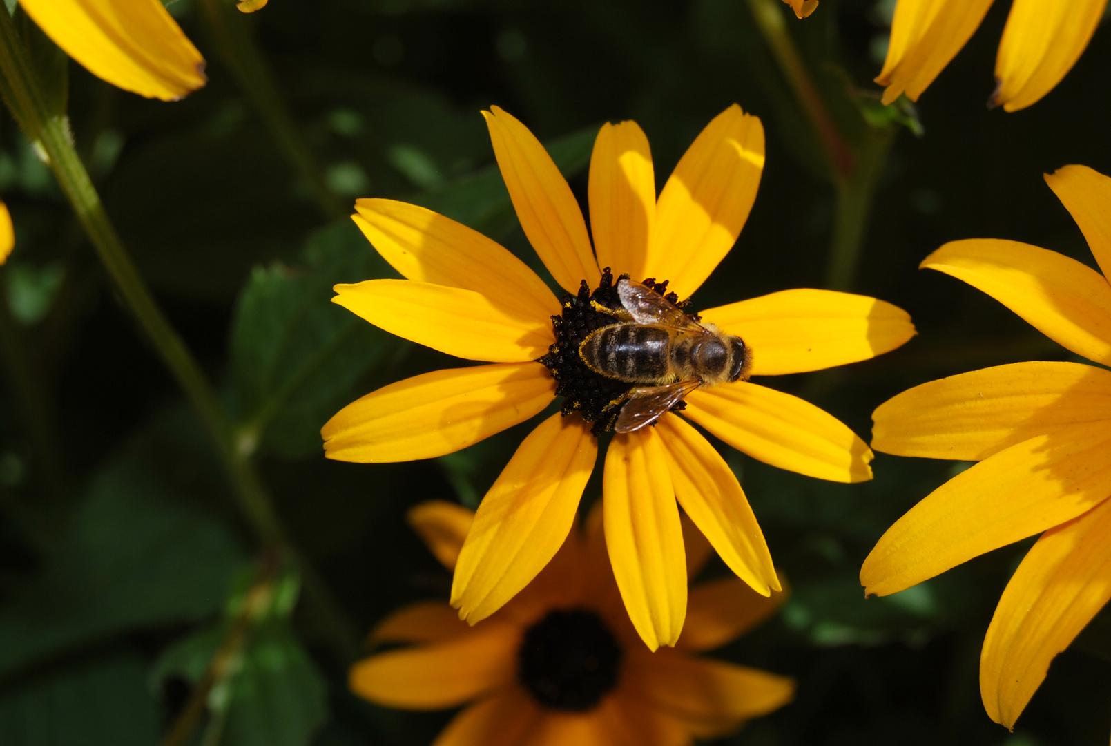 """Biene mit """"Hut"""""""