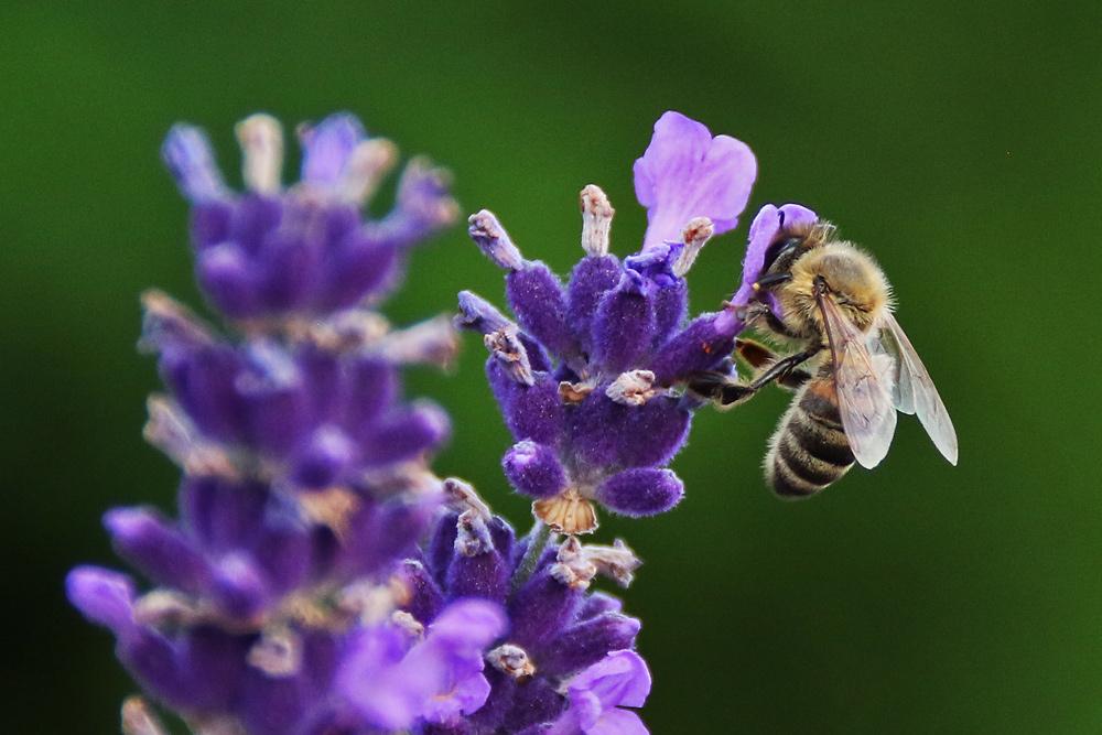 """Biene mit """"Lavendelblüten-Hut"""""""