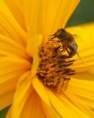 Biene mit Sonnenbrille