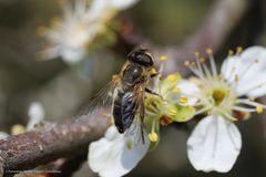 Biene oder Schwebfliege?