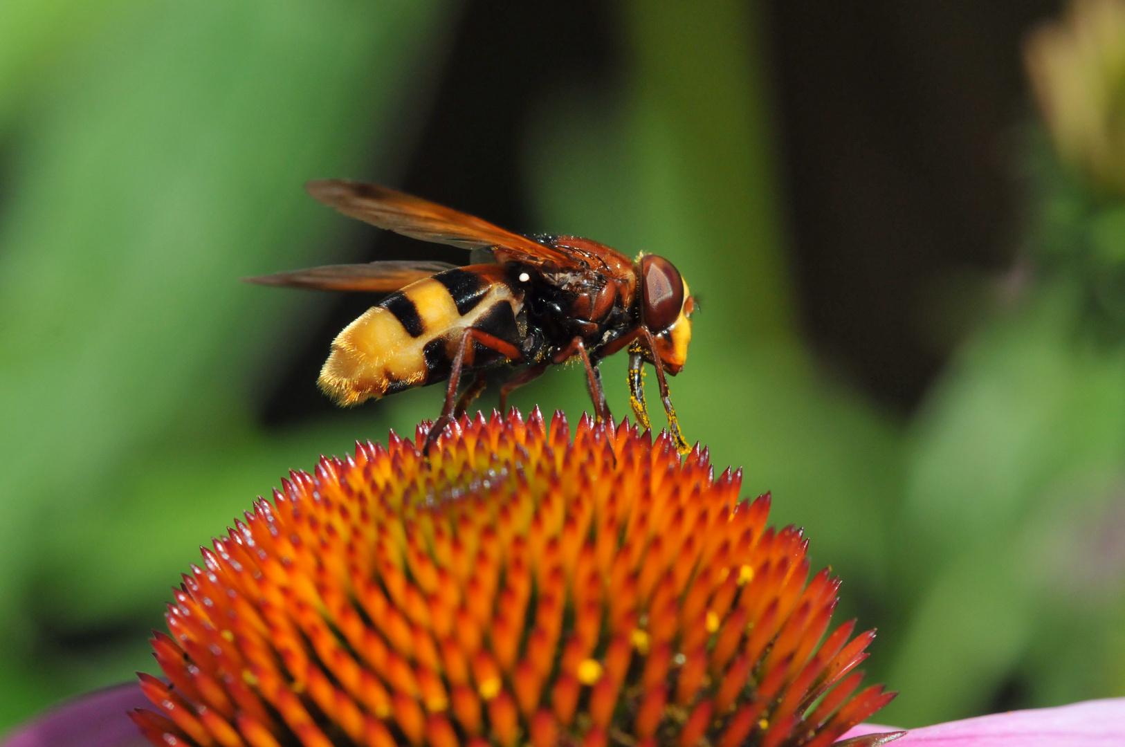 Biene oder Wespe ?