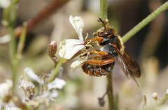 Biene oder Wespe?