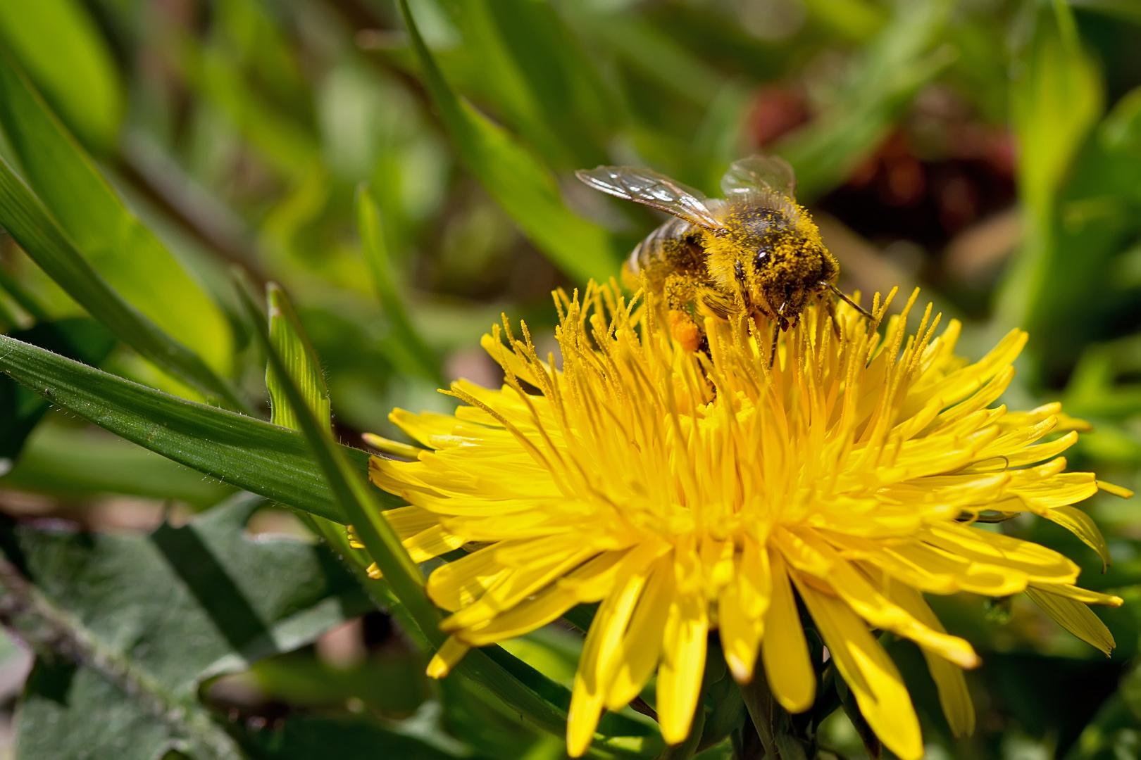 Biene ohne Pollenallergie