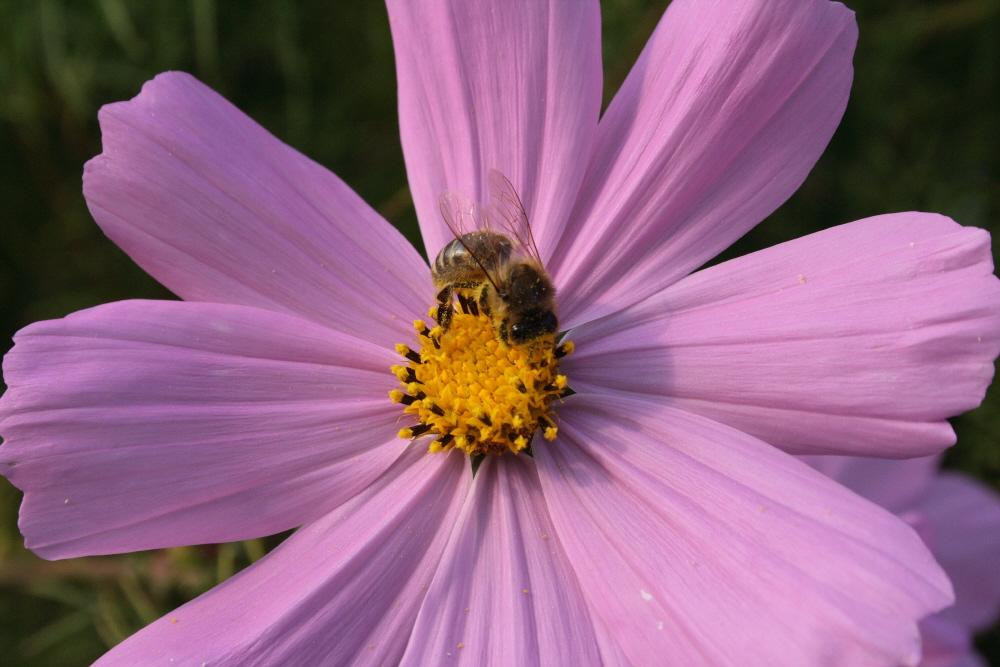 Biene und Blümchen (-: