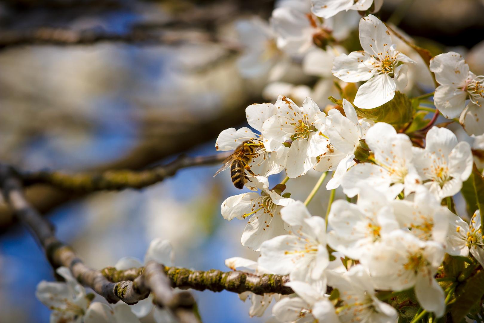 Biene und Blüte