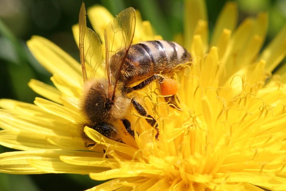 Biene und Blume