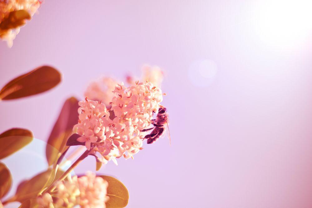 biene und die blume foto  bild  sommer pink himmel