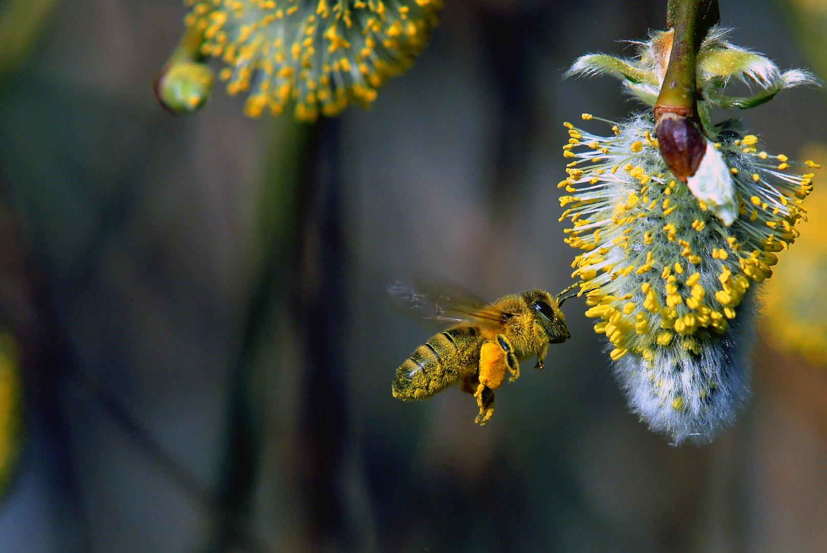 Biene und Kätzchen
