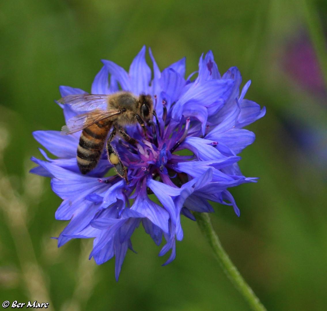 Biene und Wildblume