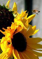 Biene unterwegs ...