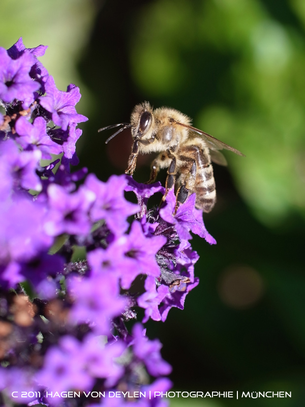Biene [violett]