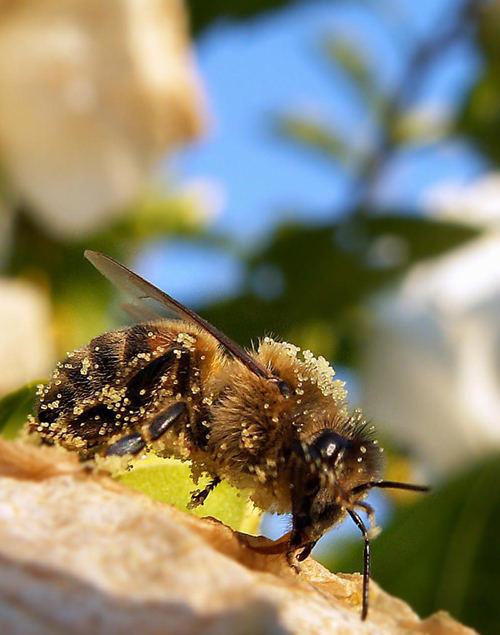 Biene vollgepackt