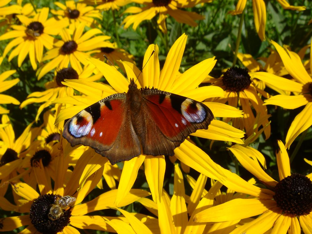 Biene vs. Tagpfauenauge