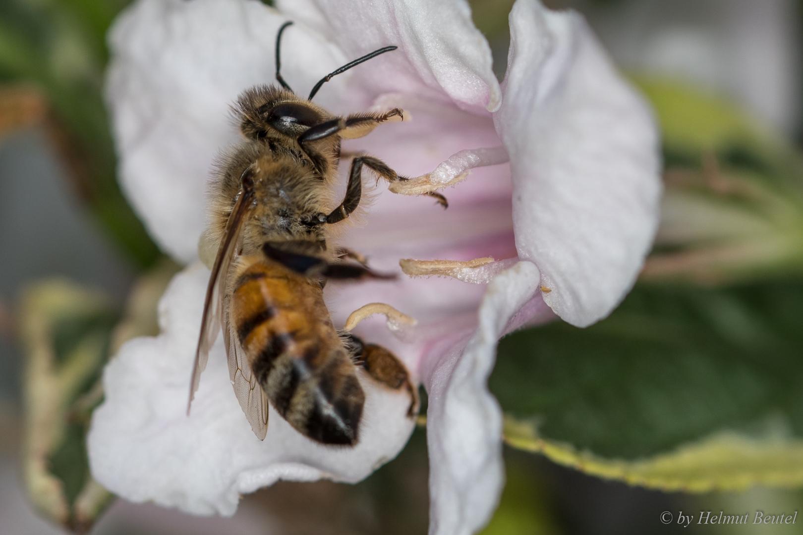 Biene - Weigelie ist lecker