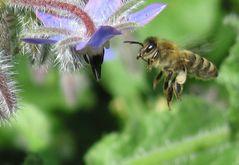 Biene zwischen Borretschblüten