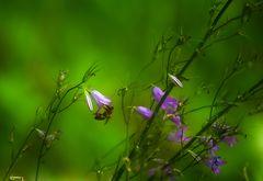 Biene/Glockenblume/Grün