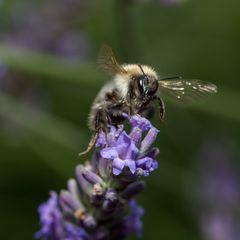 Biene/Hummel an Lavendel