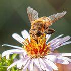 Bienen am 26.10.2019  1