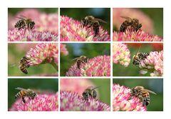 Bienen an der fetten Henne