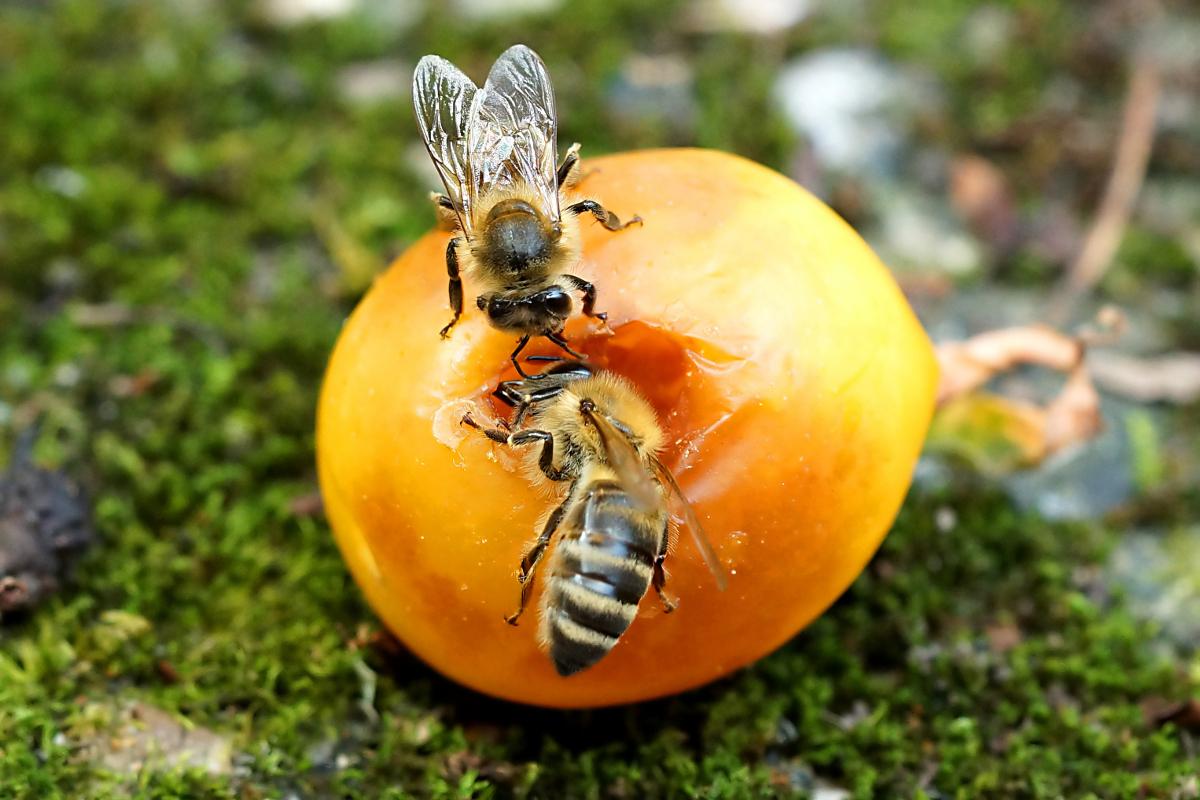 Bienen auf Mirabelle