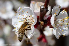 Bienen in meinem Garten