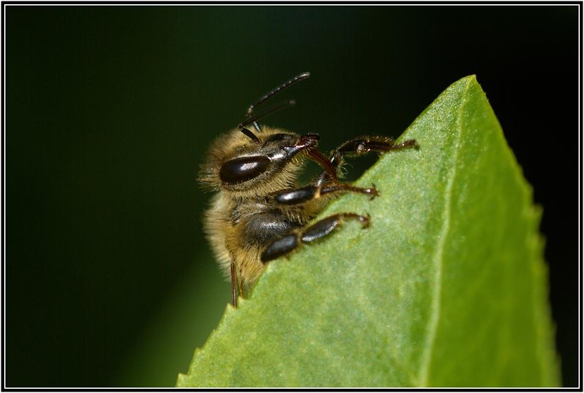 Bienen Kopf