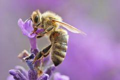 Bienen-Makro an der Lavendelblüte