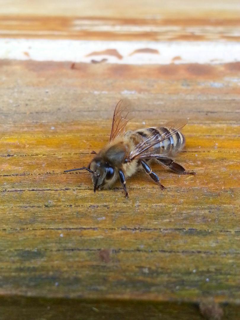 Bienen Model