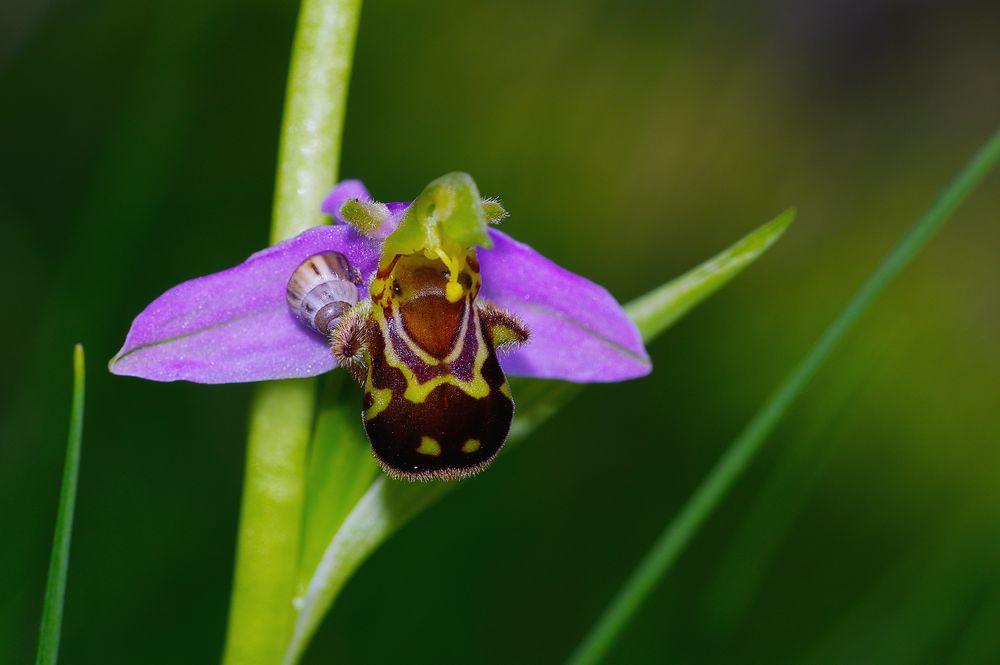 Bienen-Ragwurz, NSG Haigergrund