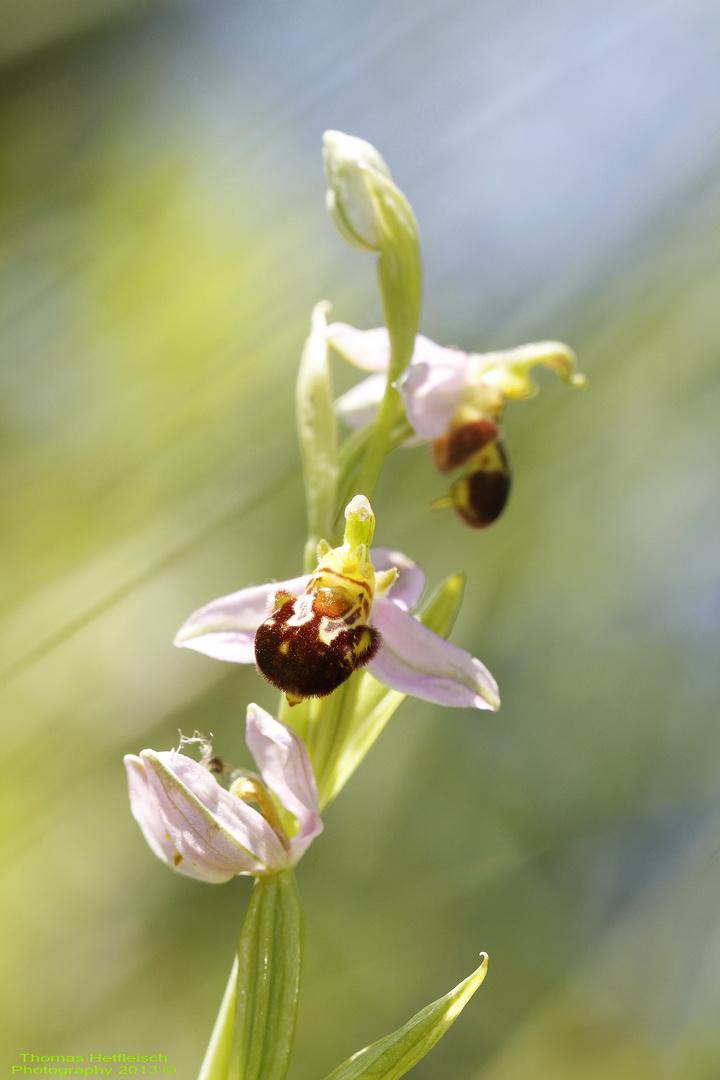 Bienen Ragwurz - Ophrys Apifera!!
