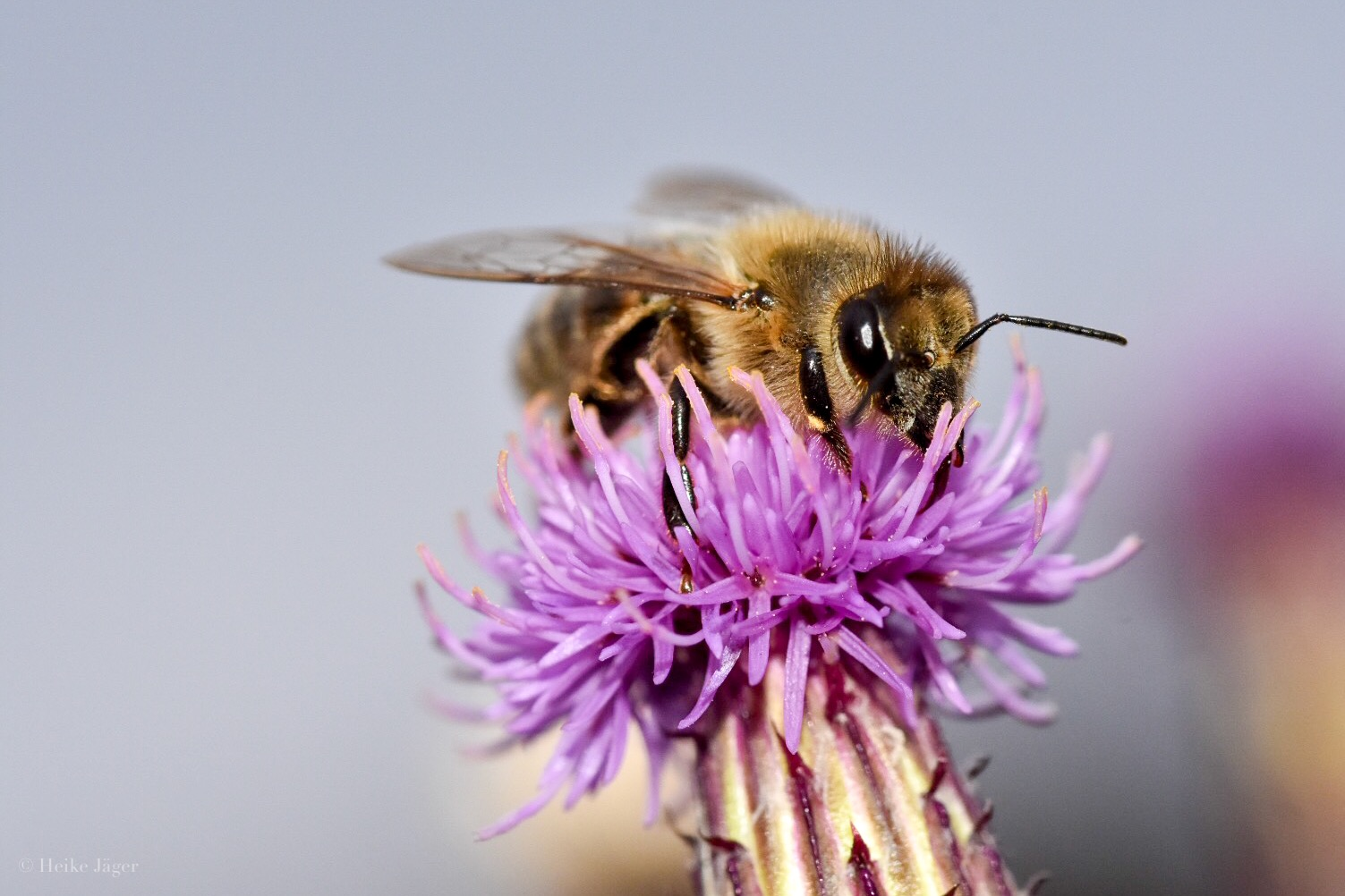 Bienen träumen mit offenen Augen