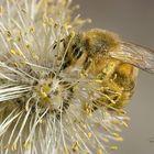 Bienen und Weidekätzen...