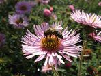 Bienenbesuch im Garten