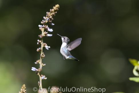 Kleinster Vogel Der Welt