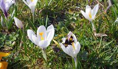 Bienenfleißig, tief in der Blüte