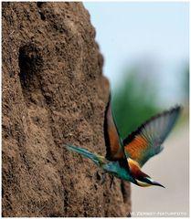 --- Bienenfresser beim Verlassen der Brutröhre --- ( Merops apiaster )