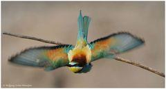 --- Bienenfresser im Abflug --- ( Merops apiaster )